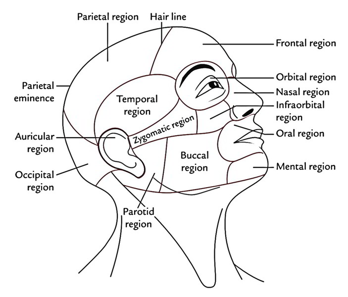 region of head