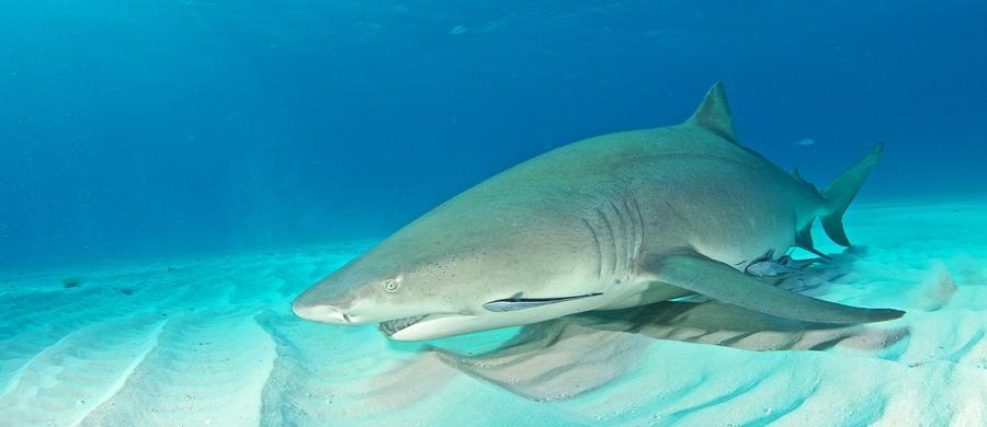 requiem shark
