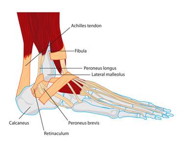 retinaculum of fibular muscles