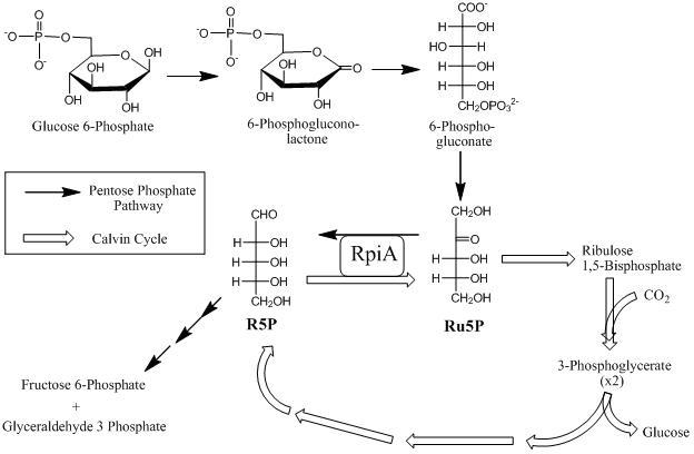 ribose 5-phosphate isomerase