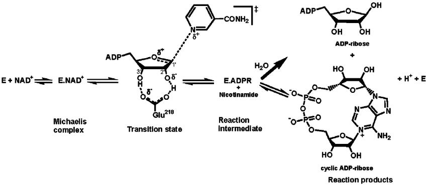 ribosyl