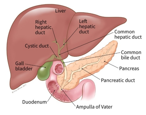 right hepatic duct