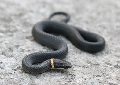 ring snake