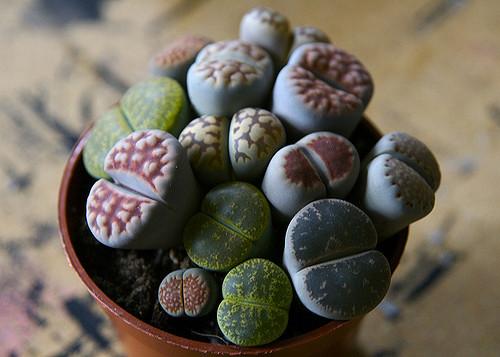 rock plant