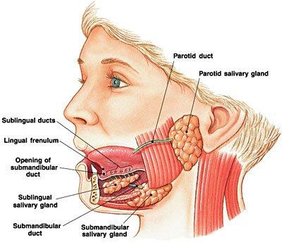 salivary duct