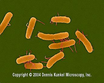 salmonella cholerae-suis