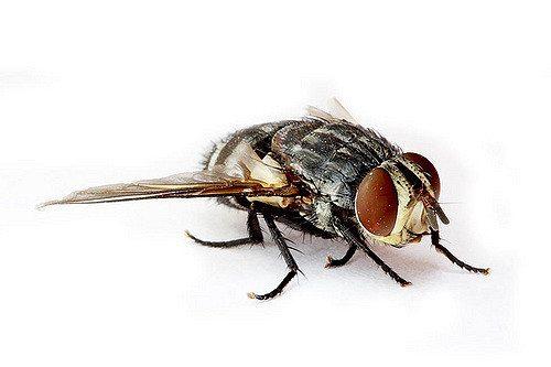 sand-fly