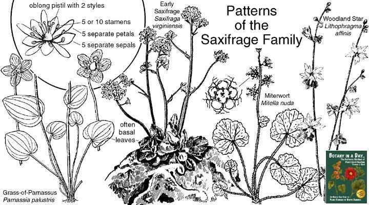 saxifrage family