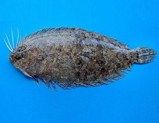 scaldfish