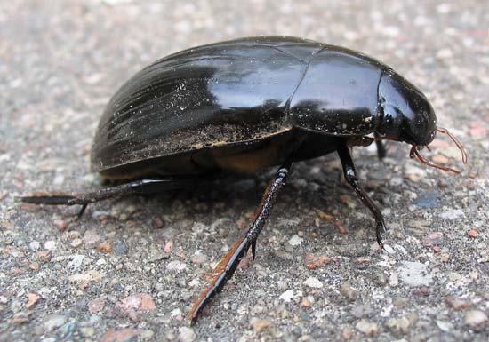 scavenger beetle