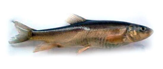 schistothorax