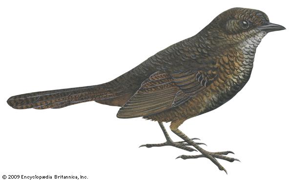 scrub bird