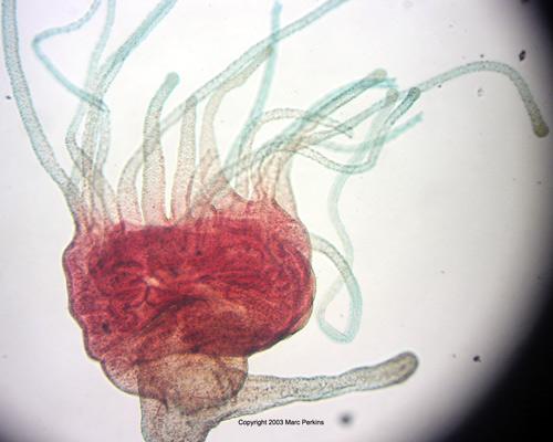 scyphistoma