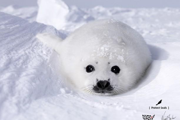 sea calf