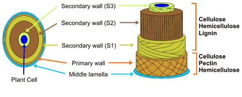 secondary wall