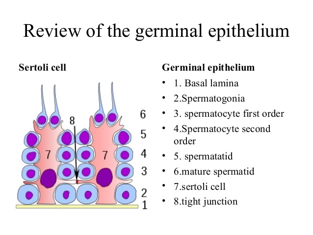 seminiferous epithelium