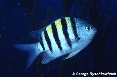 sergeantfish
