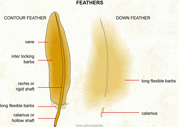 shaft feather
