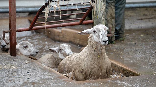 sheep-dip
