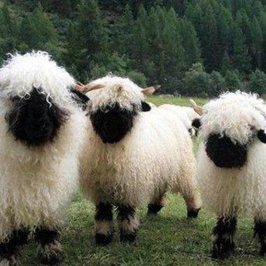 sheeplike