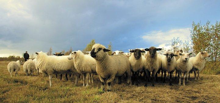 shepherded