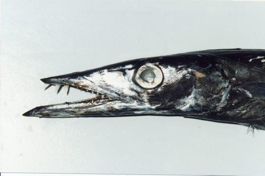 snake mackerel