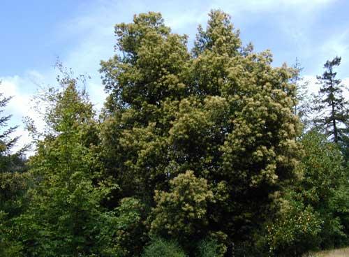tan oak
