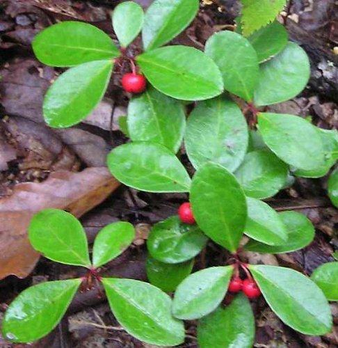 tea-berry