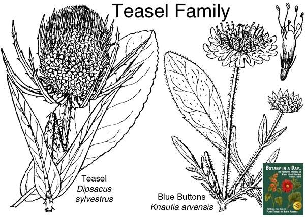 teasel family