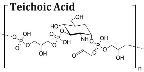 teichoic acid