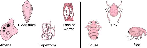 temporary parasite