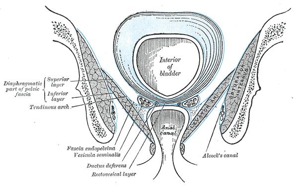 tendinous arch of pelvic fascia