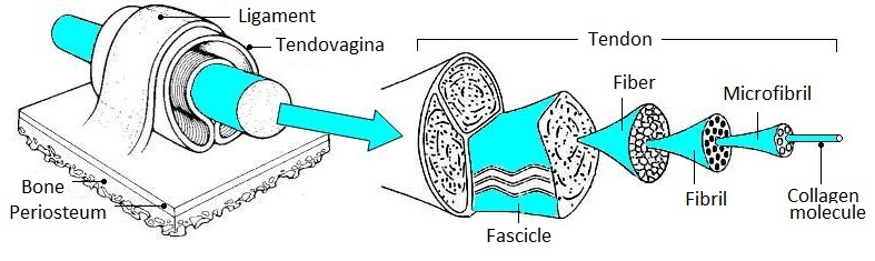 tendovaginal