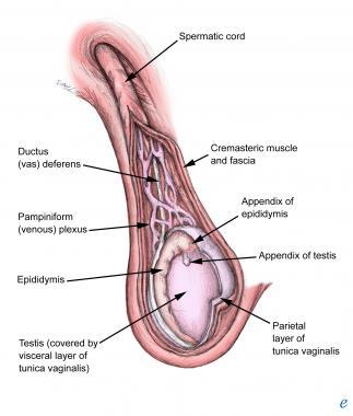 testicular cord