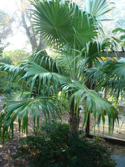 thatch palm