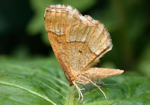 thorn moth