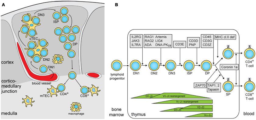 thymocyte