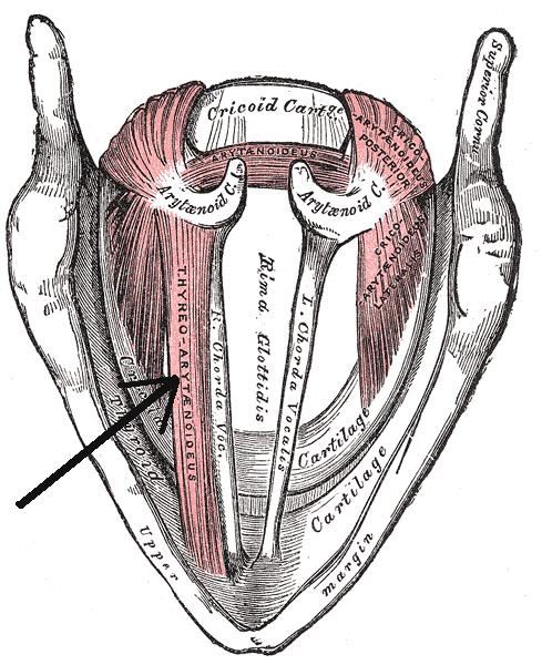 thyroarytenoid