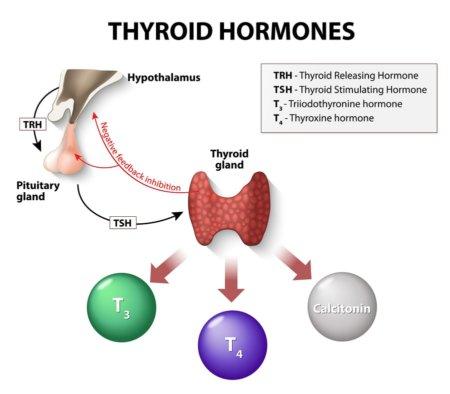thyrotropin