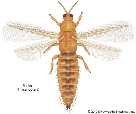 thysanopteran