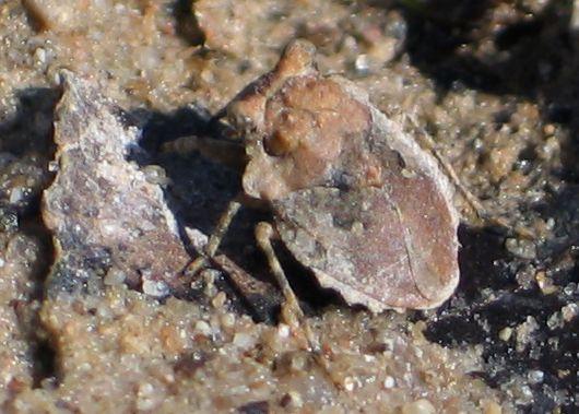 toad bug