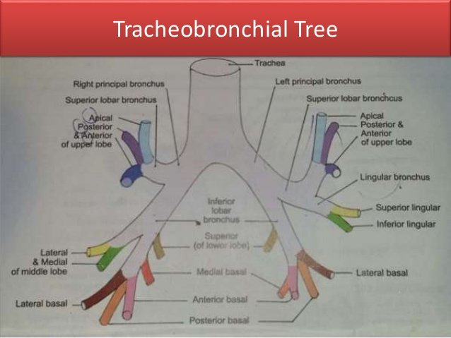 tracheobronchial