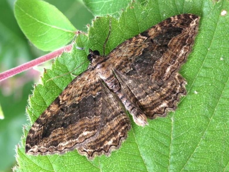 umber moth
