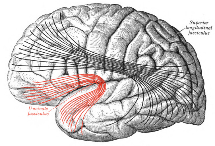 uncinate gyrus
