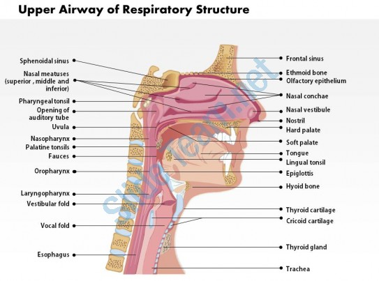 upper airway