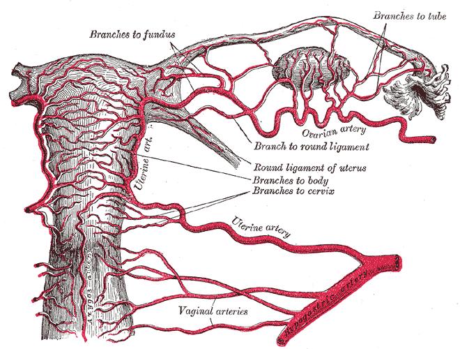 vaginal artery