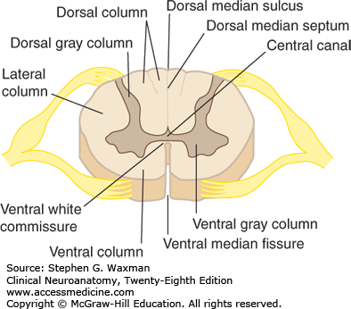 ventral column of spinal cord