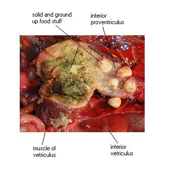 ventriculus
