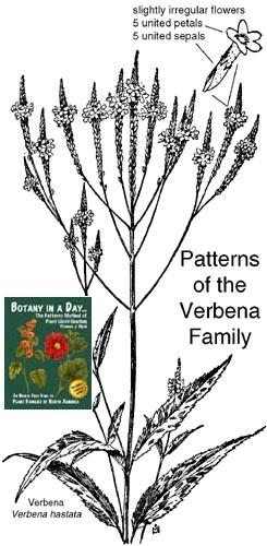verbena family