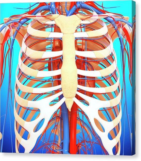 vertebrosternal